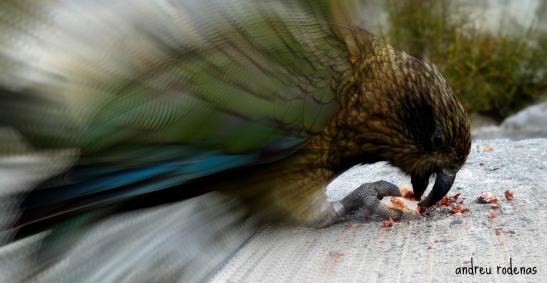 Lloro Kea. Nova Zelanda / Kea Parrot. New Zealand
