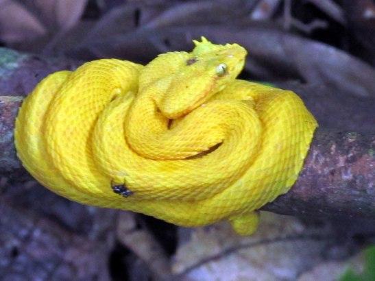 Oropel o Bocaracá Amarilla
