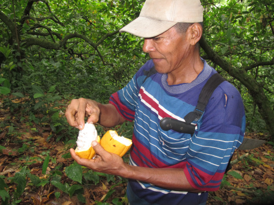 Don German mostrant  el fruit del cacao / Don German mostrando el fruto del cacao / Don German showing the cocoa's fruit